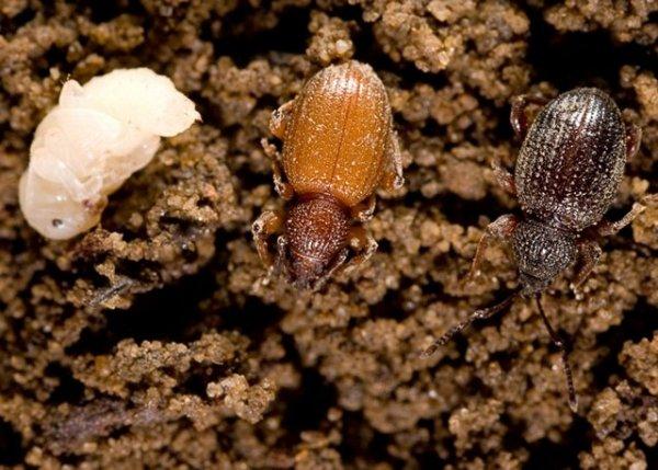 produkt do zwalczania larw szkodników ziemnych i liściożernych