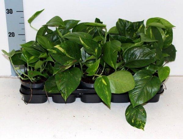 pnącze oczyszczające powietrze, Epipremnum uprawa