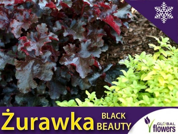 Żurawka 'Black Beauty' (Heuchera) Sadzonka