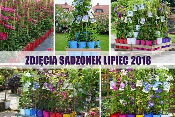 Jagoda Kamczacka DUET Sadzonka 3 letnia 30-70cm