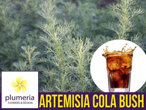 Artemisia 'Cola Bush' (Artemisia procera) Sadzonka