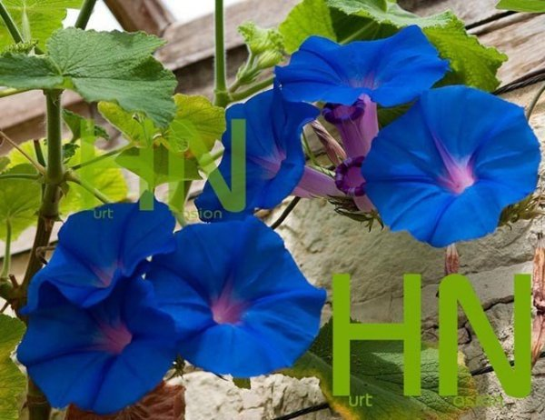 Pnącze o pięknych niebieskich kwiatach