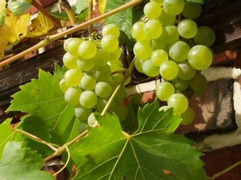Najlepsza odmiana deserowa winorośli