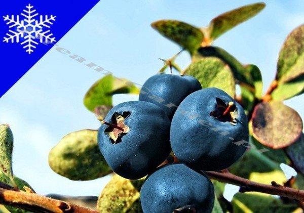 Borówka Amerykańska Sadzonka 3/4 letnia - odmiana Blue Crop