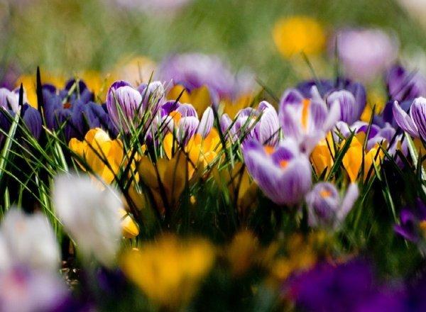 Cudnie kwitnące krokusy !