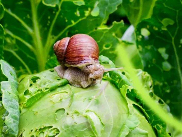 granulat skutecznie zwalcza ślimaki w uprawach ekologicznych