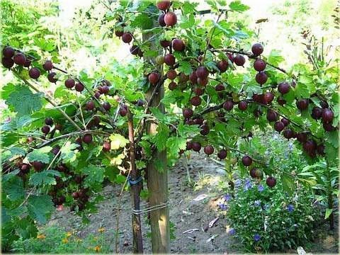 sadzenie agrestu czerwonego