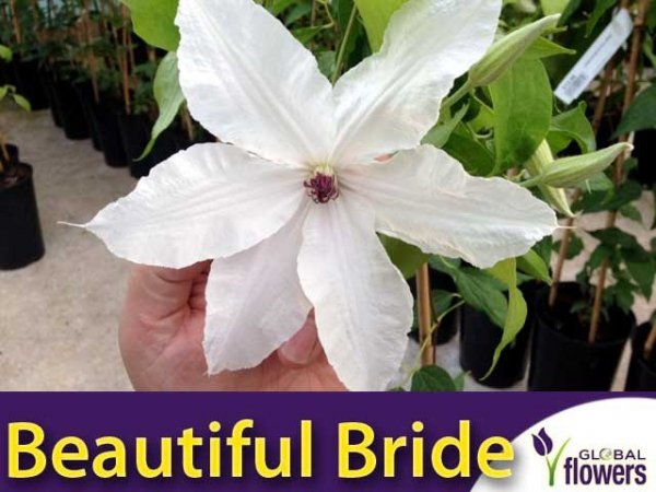 Clematis Powojnik 'Beautiful Bride' PBR Sadzonka