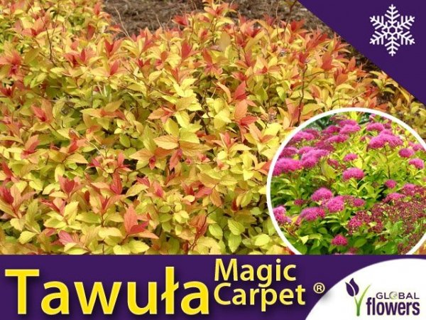 Tawuła Japońska 'Magic Carpet ®' (Spiraea japonica) Sadzonka
