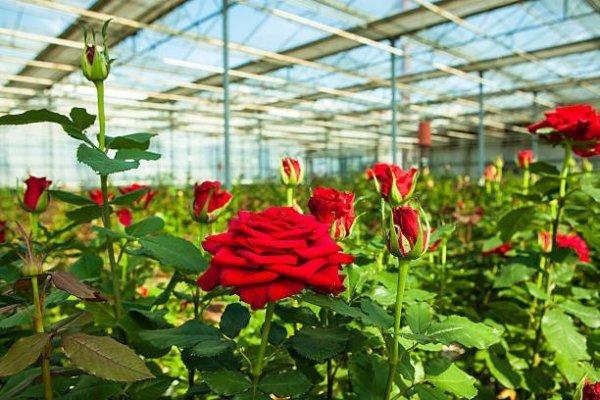 ERVIPAR mszyce na różach