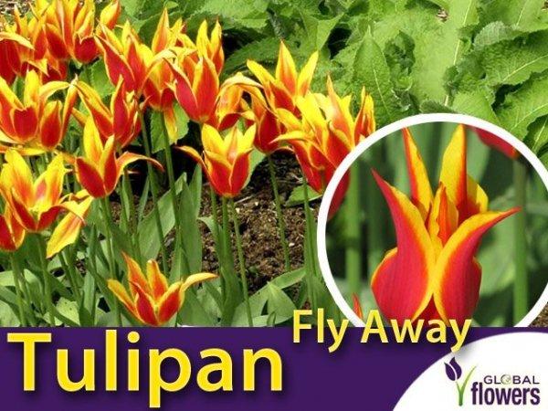 Tulipan liliokształtny 'Fly Away' (Tulipa) CEBULKI