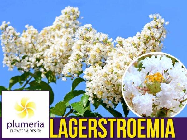 Lagerstroemia indica nivea gdzie można kupić