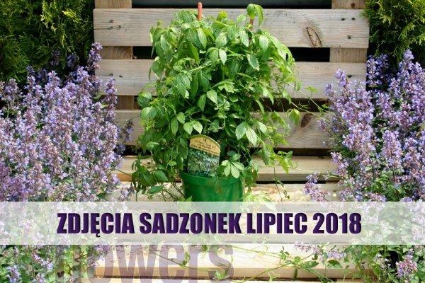 jiaogulan uprawa w Polsce SADZONKA ODMIANA