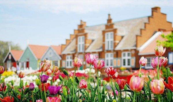 Pole tulipanów Salomon Parrot