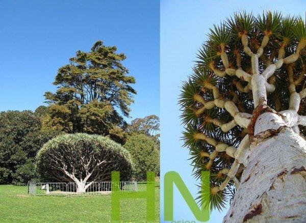 Piękne drzewa draceny
