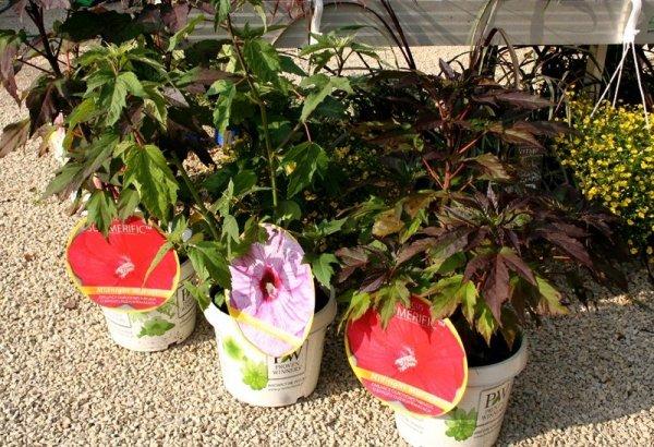Hibiskus Bylinowy Summerific™