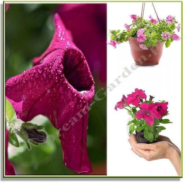 Petunia do doniczek wiszących