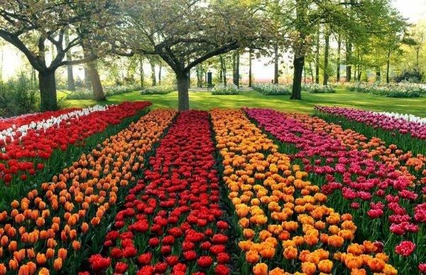 piękny różowy tulipan cebulki