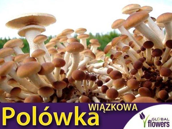 Polówka wiązkowa grzybnia na kołkach 20szt kołków