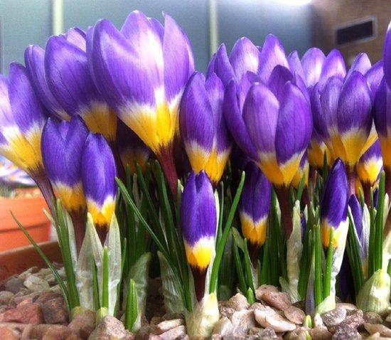 krokusy wiosenne kwiaty
