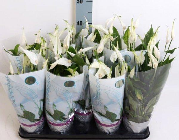 rośliny oczyszczające powietrze skrzydłokwiat