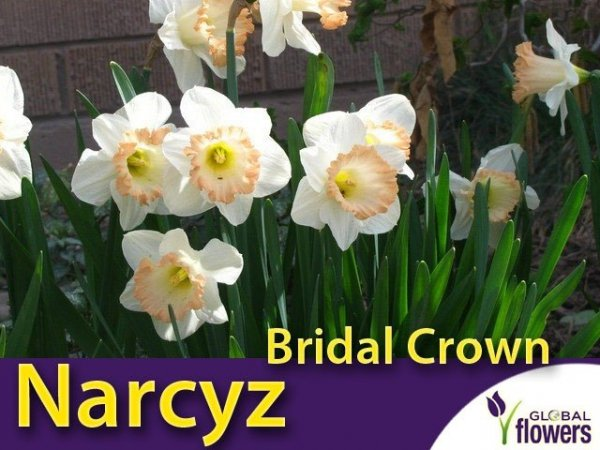 Narcyz trąbkowy 'Easter Bonnet' (Narcissus ) CEBULKI