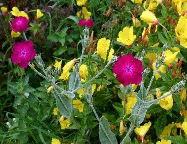 Kolorowe kwiaty Firletki
