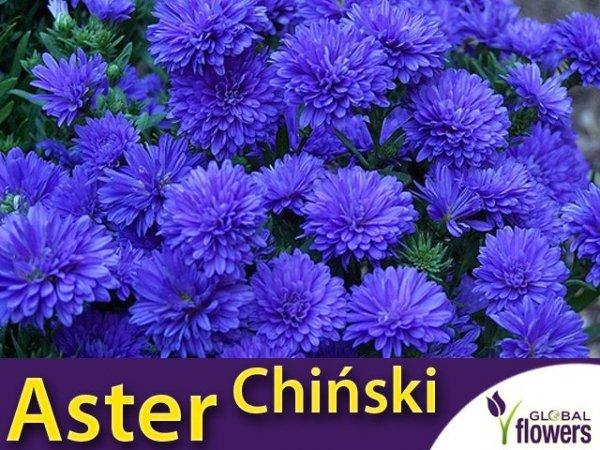 Aster chiński peoniowy - niebieski