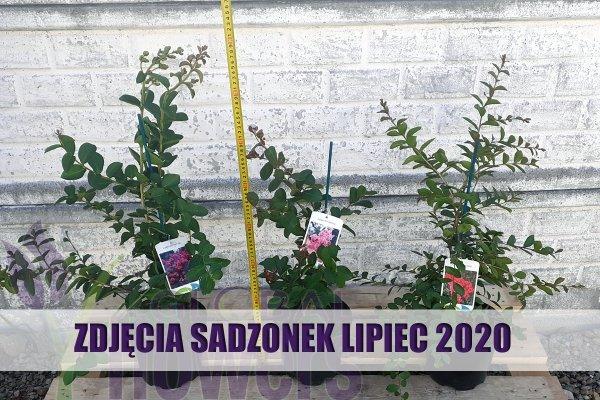 Lagerstroemia Coccinea 2020