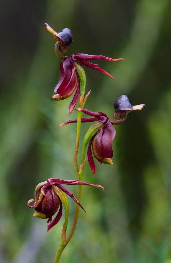 Fruwająca kaczka orchid