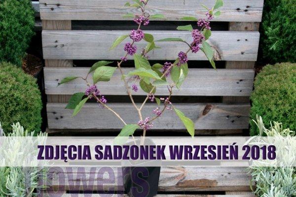Pięknotka Bodiniera Profusion Koralikowy Krzew SADZONKA