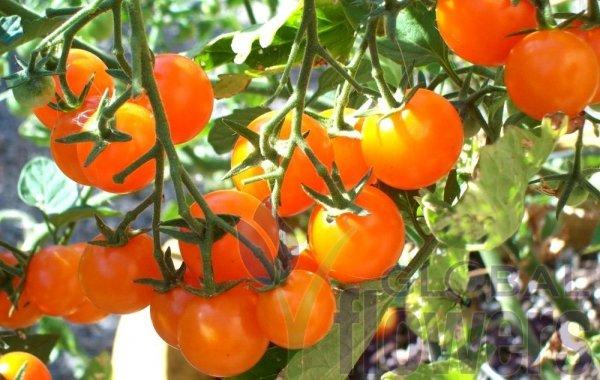 Smaczny pomarańczowy pomidor