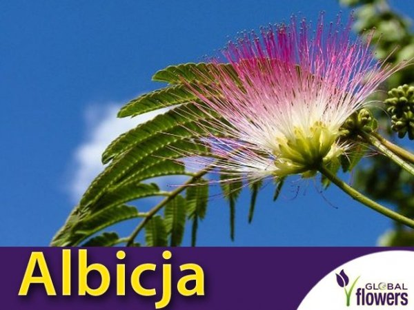 Albicja - Jedwabne Drzewko