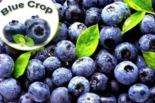 owoce borówki amerykańskiej smaczne i zdrowe