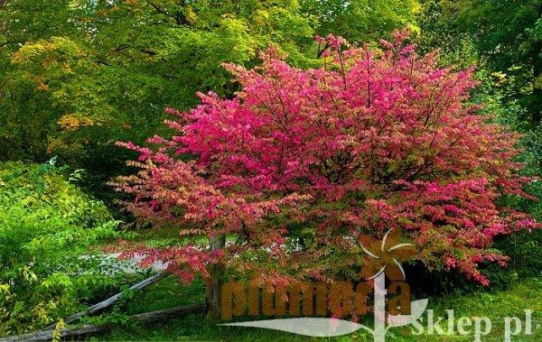 Trzemielina o liściach, które zmieniają kolor na czerwony