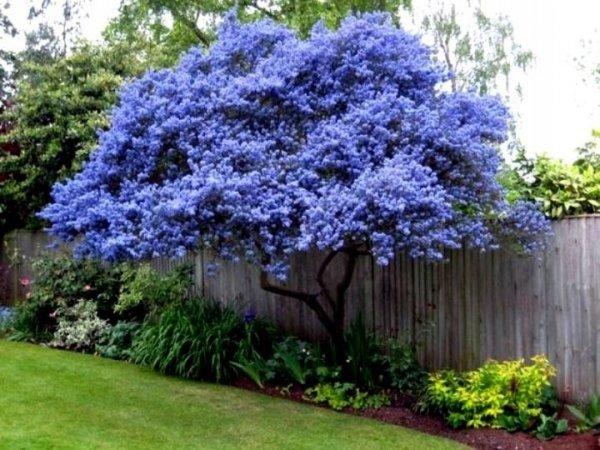Prusznik Niebieski Victoria uprawa