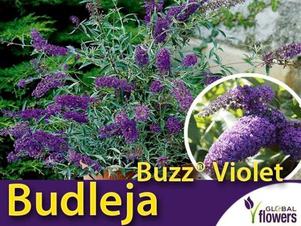 Budleja 'Buzz® Violet' Motyli Krzew