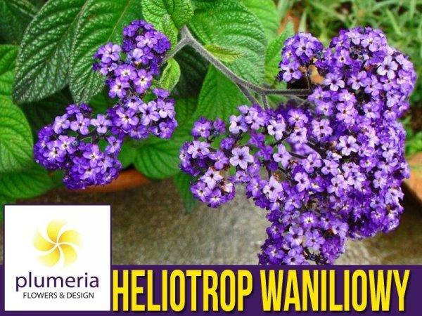 Heliotrop Waniliowy Heliotropium fioletowe kwiaty odstrasza komary