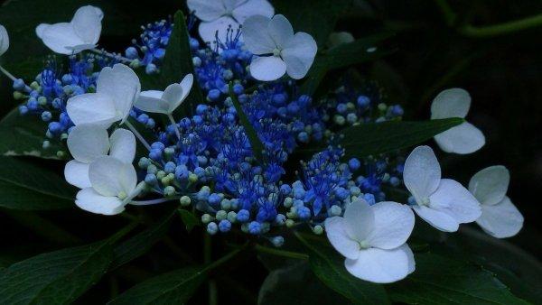 Hortensja ogrodowa Nikko Blue (Hydrangea macrophylla) sadzonka