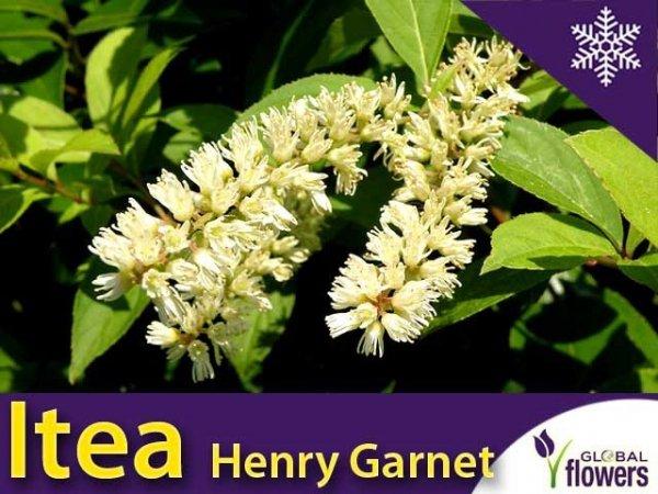 Itea Wirginijska 'Henry's Garnet' (Itea virginica) Sadzonka