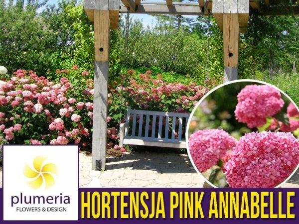 Hortensja drzewiasta 'Pink Annabelle SPIRIT' (Hydrangea arborescens) Sadzonka XL