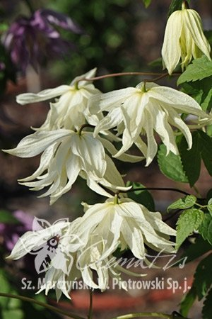Clematis Powojnik 'Lemon Dream' uprawa