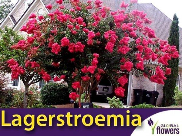 Lagerstroemia krzew bez południa (Lagerstroemia Indica) 0,1g
