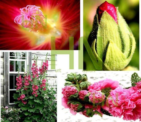 Malwa na kwiat cięty