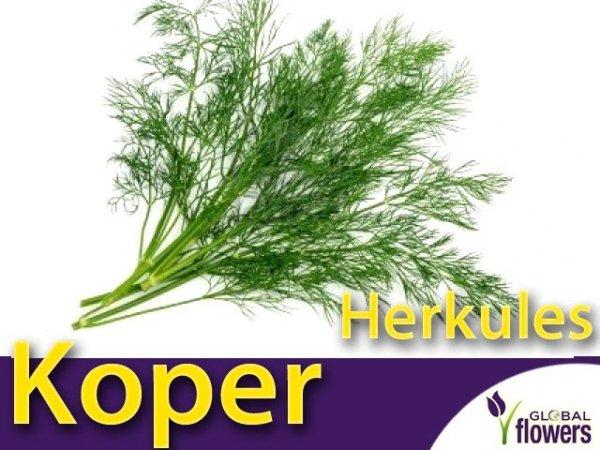 Koper ogrodowy Herkules (Anethum graveolens) 5g