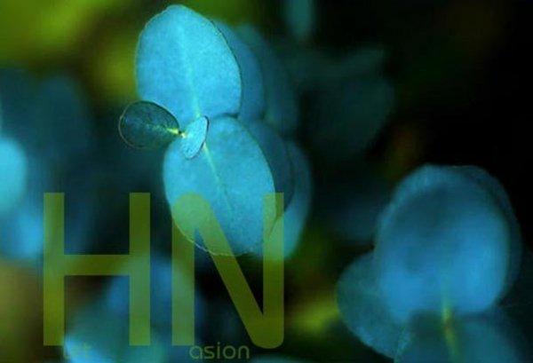 Niebieski Eukaliptus uprawa z nasion