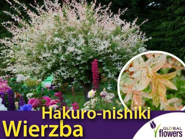 Wierzba całolistna 'Hakuro-nishiki' (Salix integra) sadzonka
