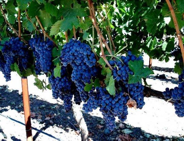 Sadzenie winorośli na działce