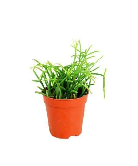 Patyczak (Rhipsalis oasis) Roślina domowa. Sadzonka P10/11 - M