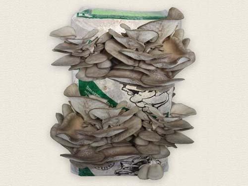 boczniak ostrygowaty uprawa domowa